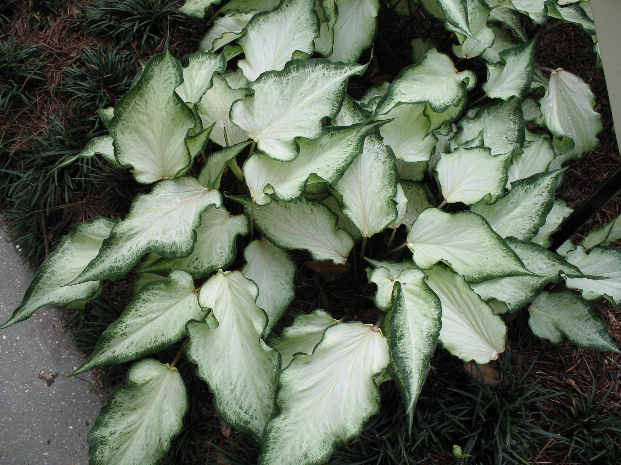 Caladium 'White Ruffles'  / Caladium 'White Ruffles'