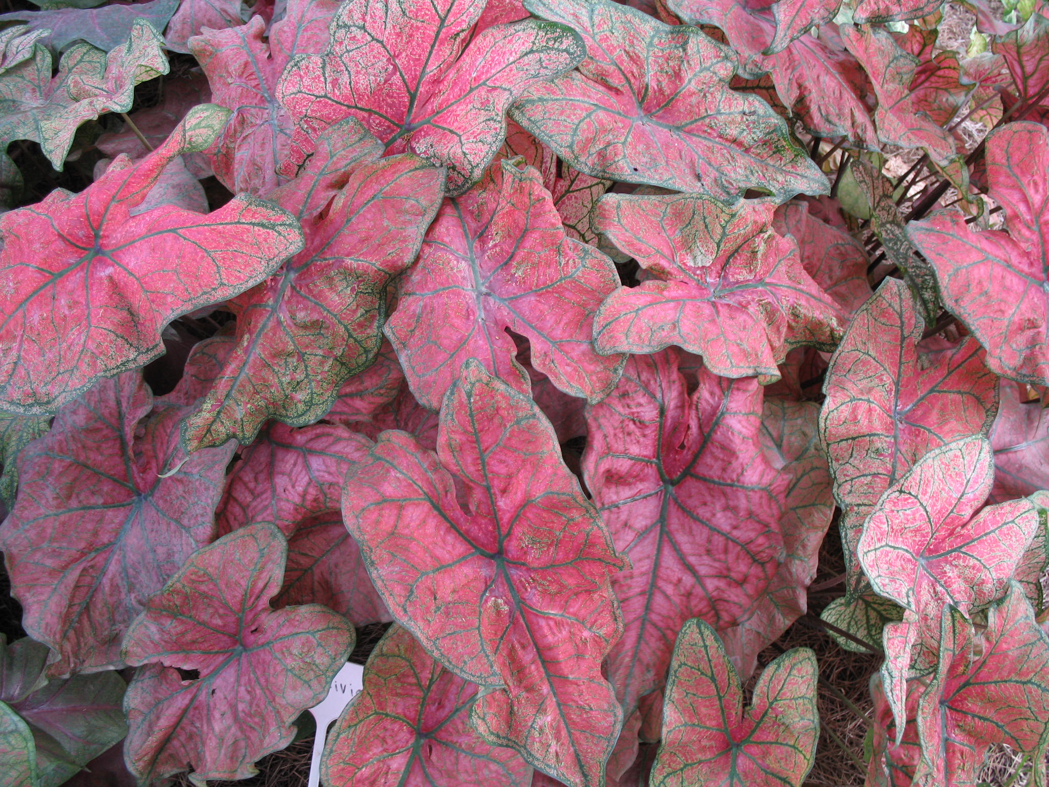 Caladium bicolor 'Festiva'   / Caladium bicolor 'Festiva'