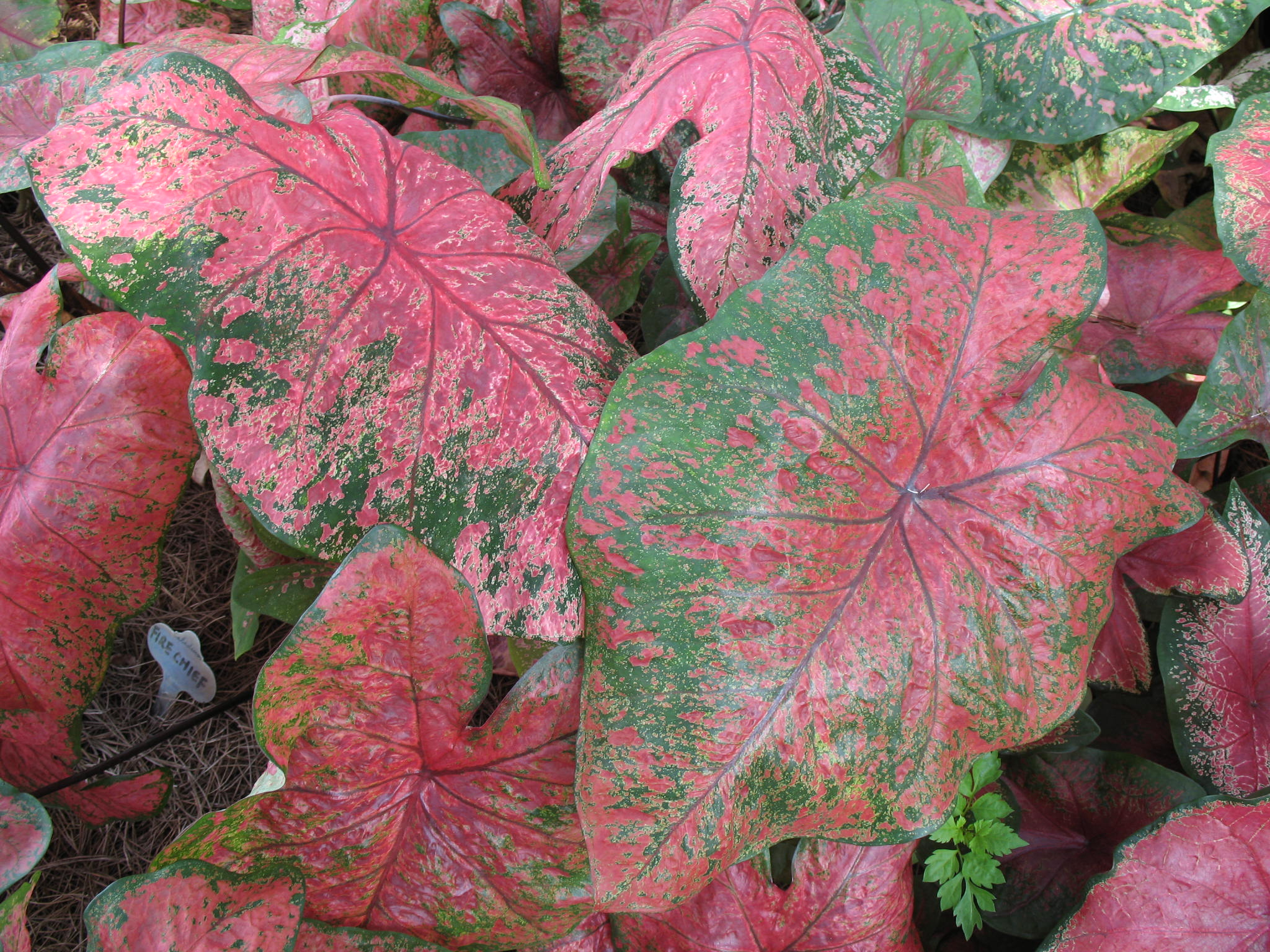 Caladium bicolor 'Fire Chief'  / Caladium bicolor 'Fire Chief'