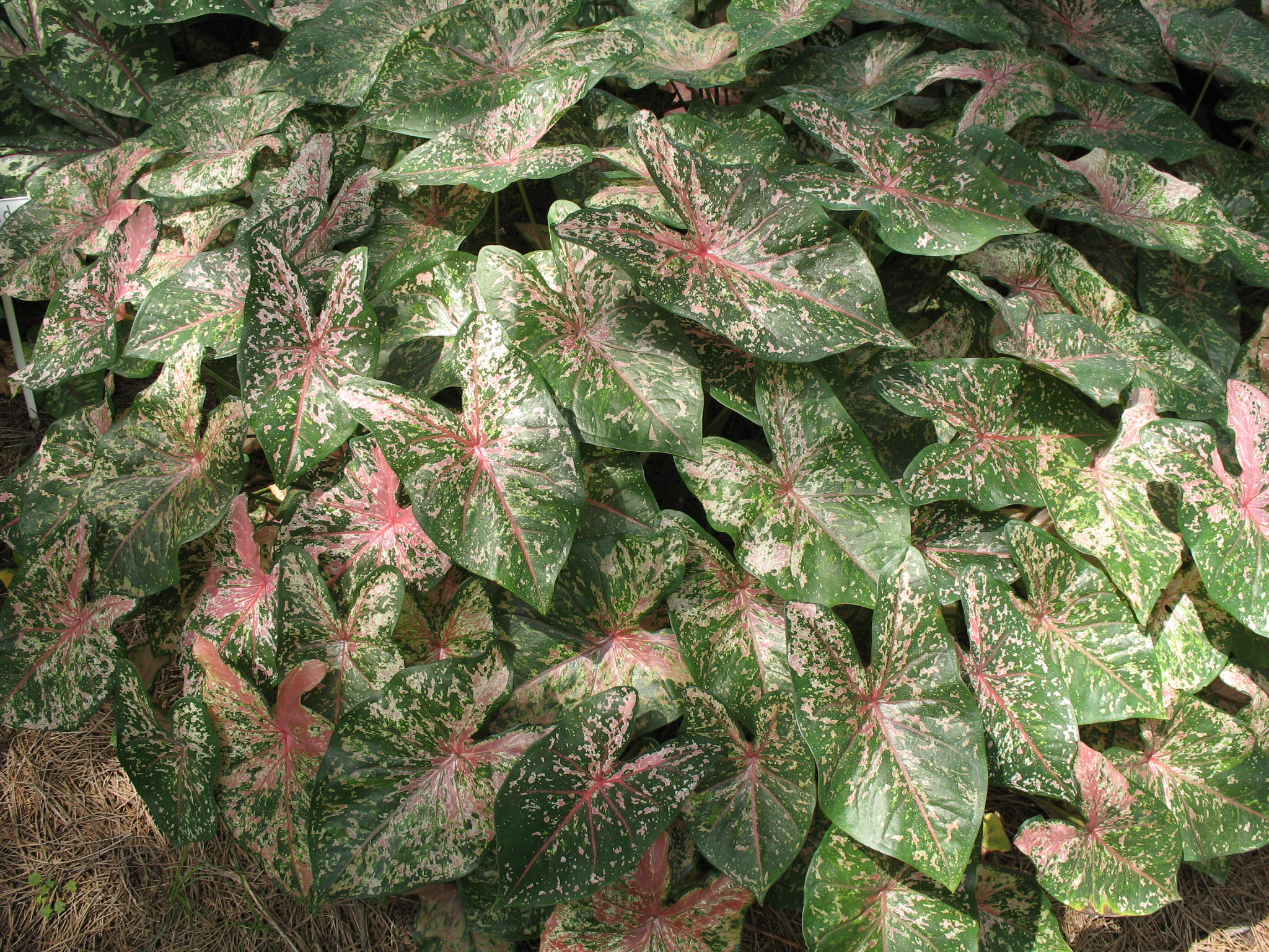 Caladium bicolor 'Florida Beauty'   / Caladium bicolor 'Florida Beauty'