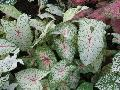 Florida Moonlight Caladium / Caladium bicolor
