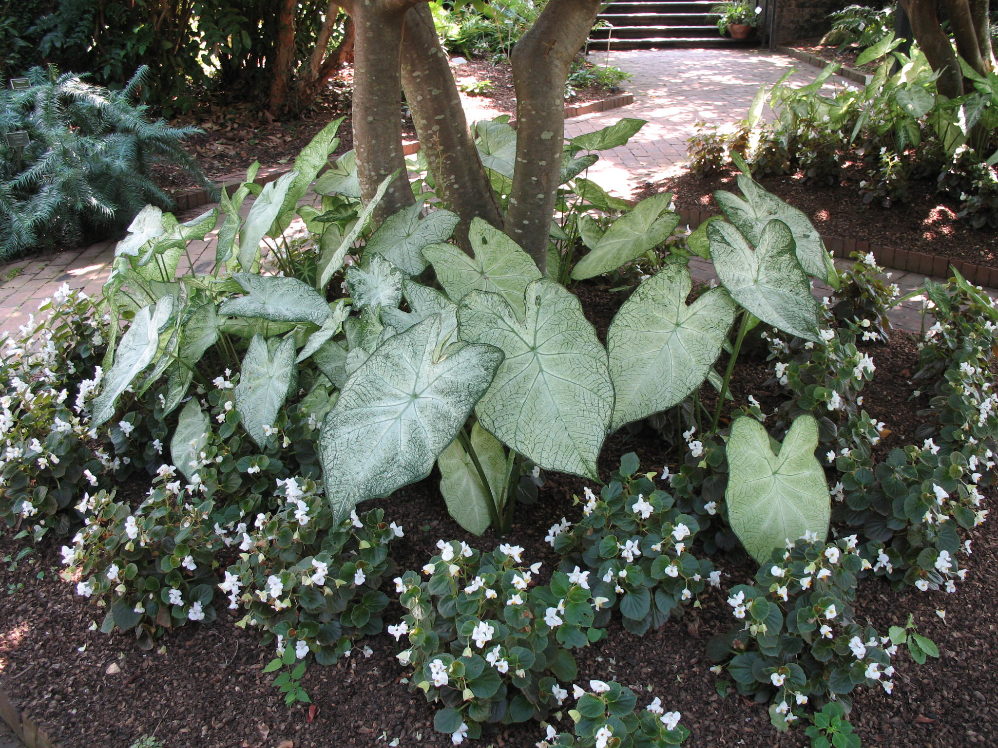 Caladium bicolor 'June Bride'   / Caladium bicolor 'June Bride'