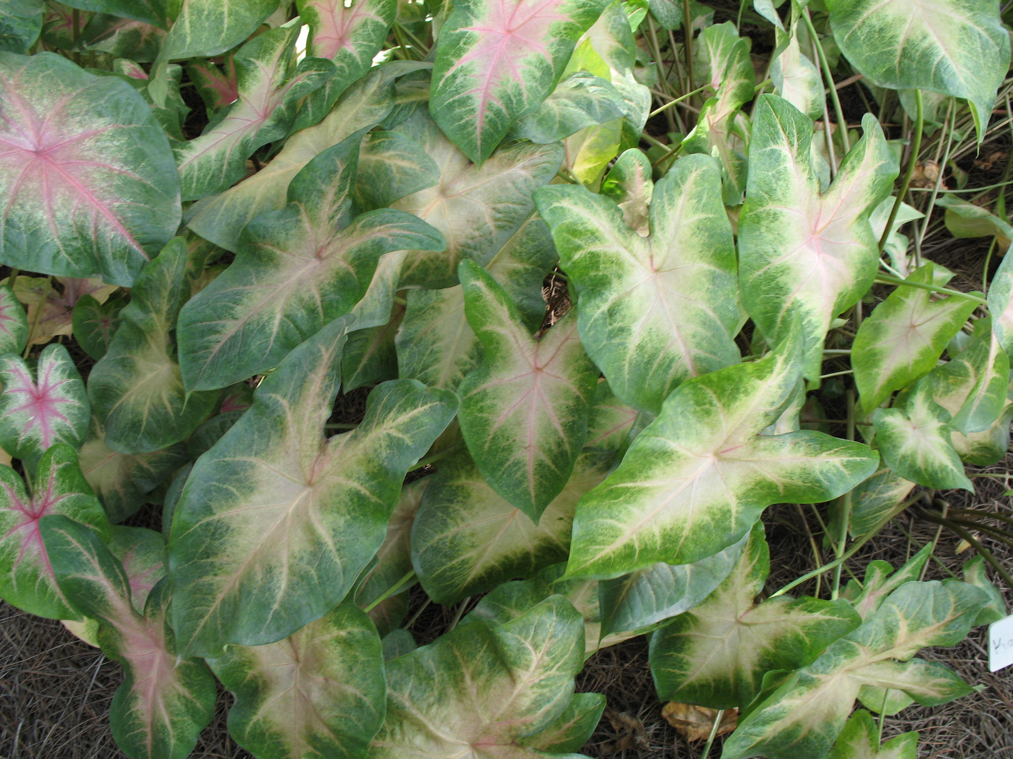 Caladium bicolor 'Kathleen'   / Caladium bicolor 'Kathleen'