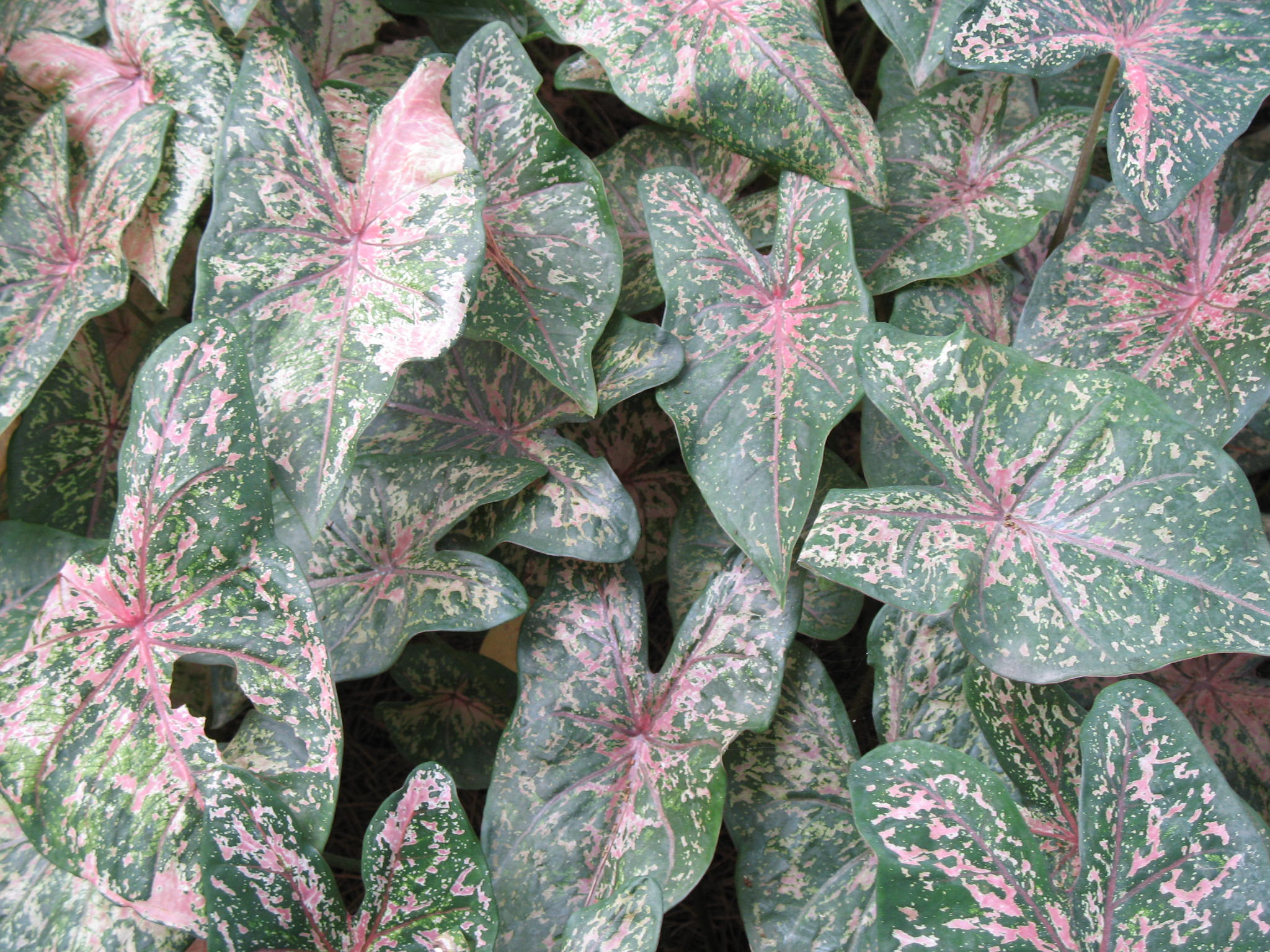 Caladium bicolor 'Pink Beauty'   / Caladium bicolor 'Pink Beauty'