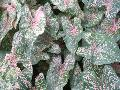 Pink Beauty Caladium / Caladium bicolor