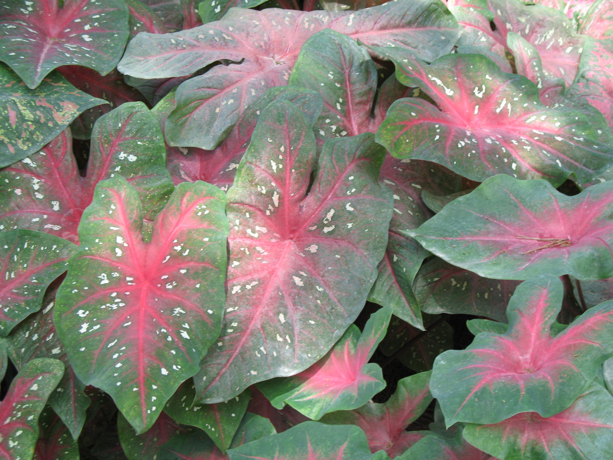 Caladium bicolor 'Red Flash'   / Caladium bicolor 'Red Flash'