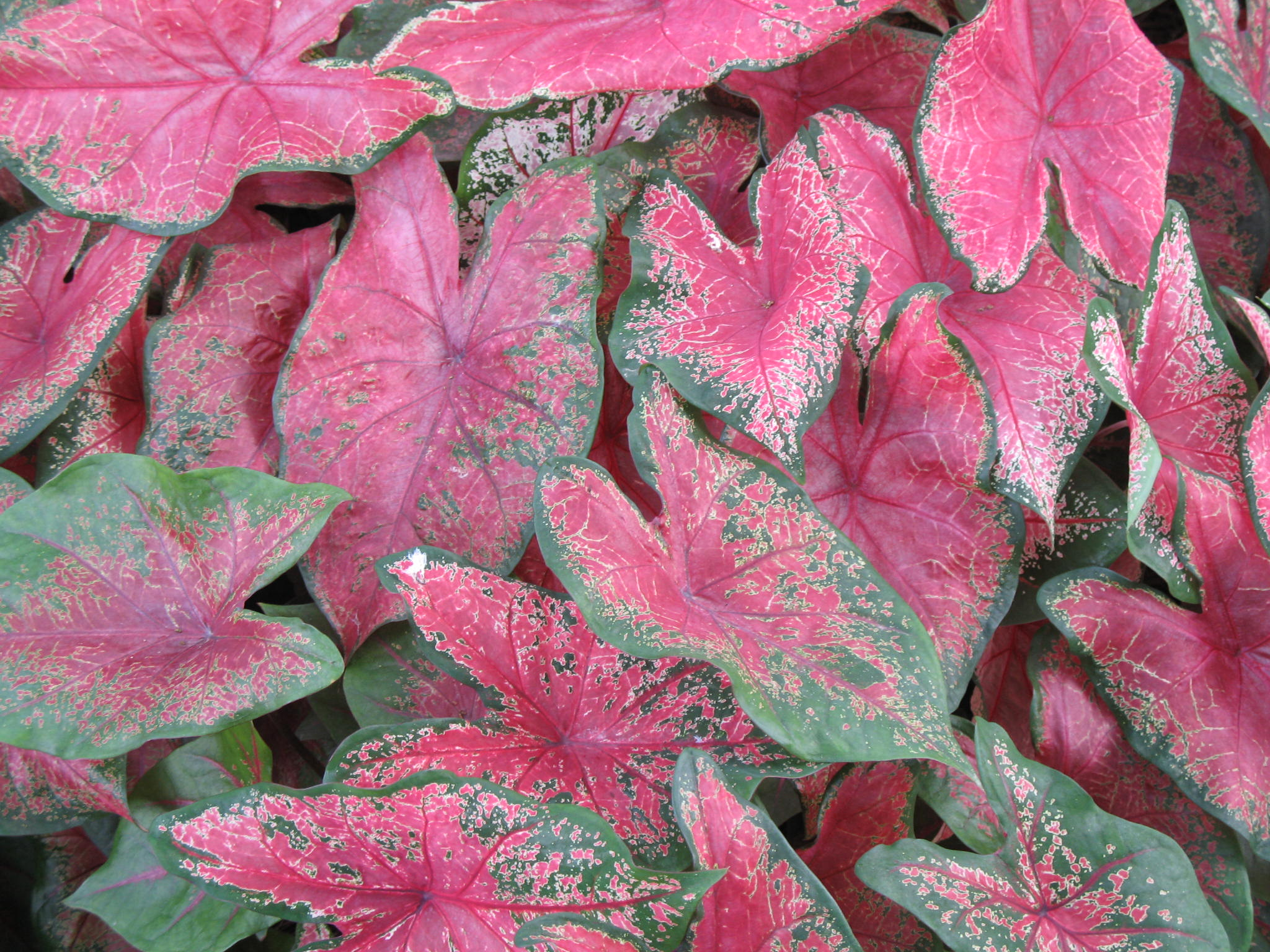 Caladium bicolor 'Tom Tom'   / Caladium bicolor 'Tom Tom'
