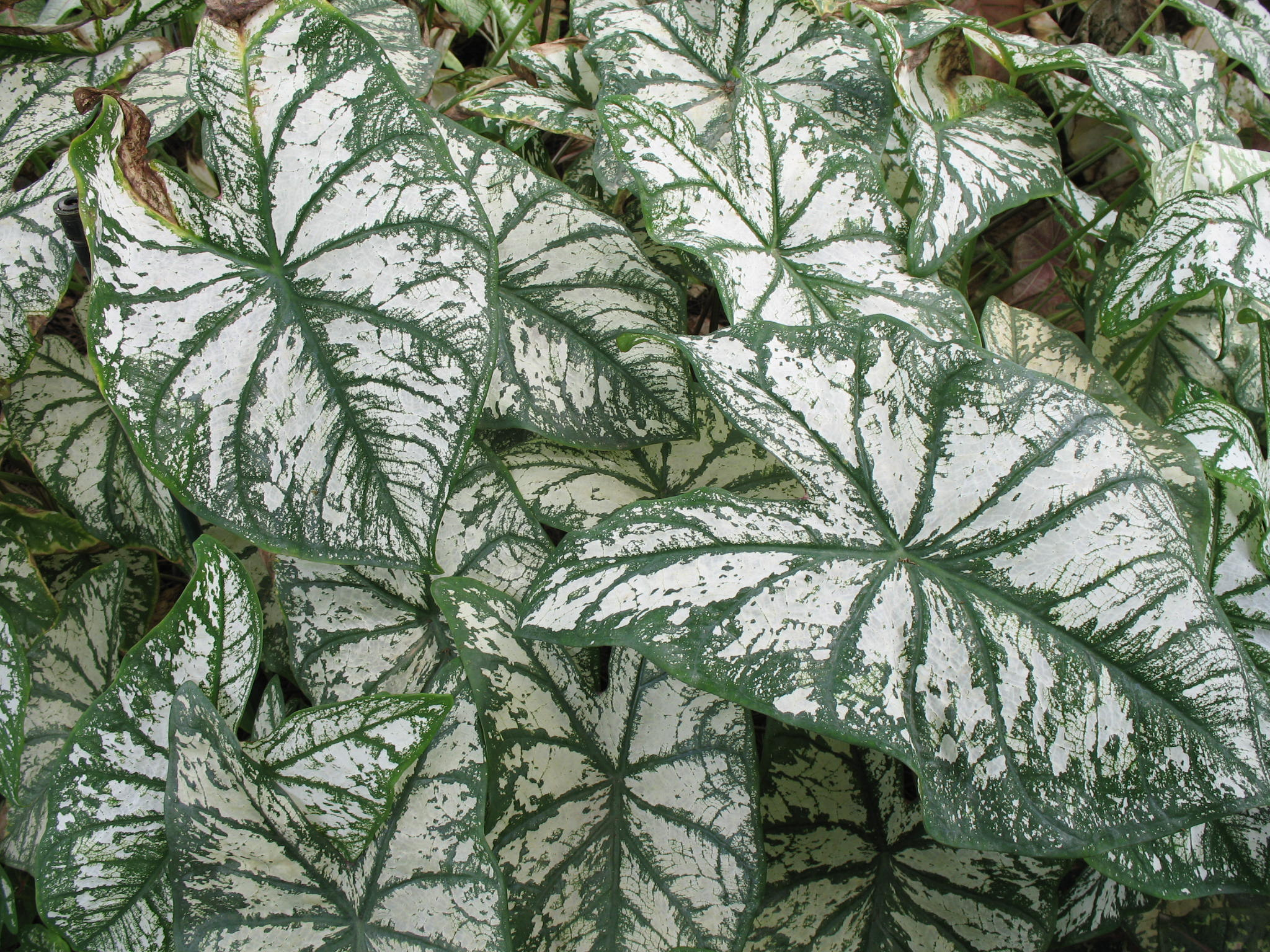 Caladium bicolor 'White Christmas'   / Caladium bicolor 'White Christmas'