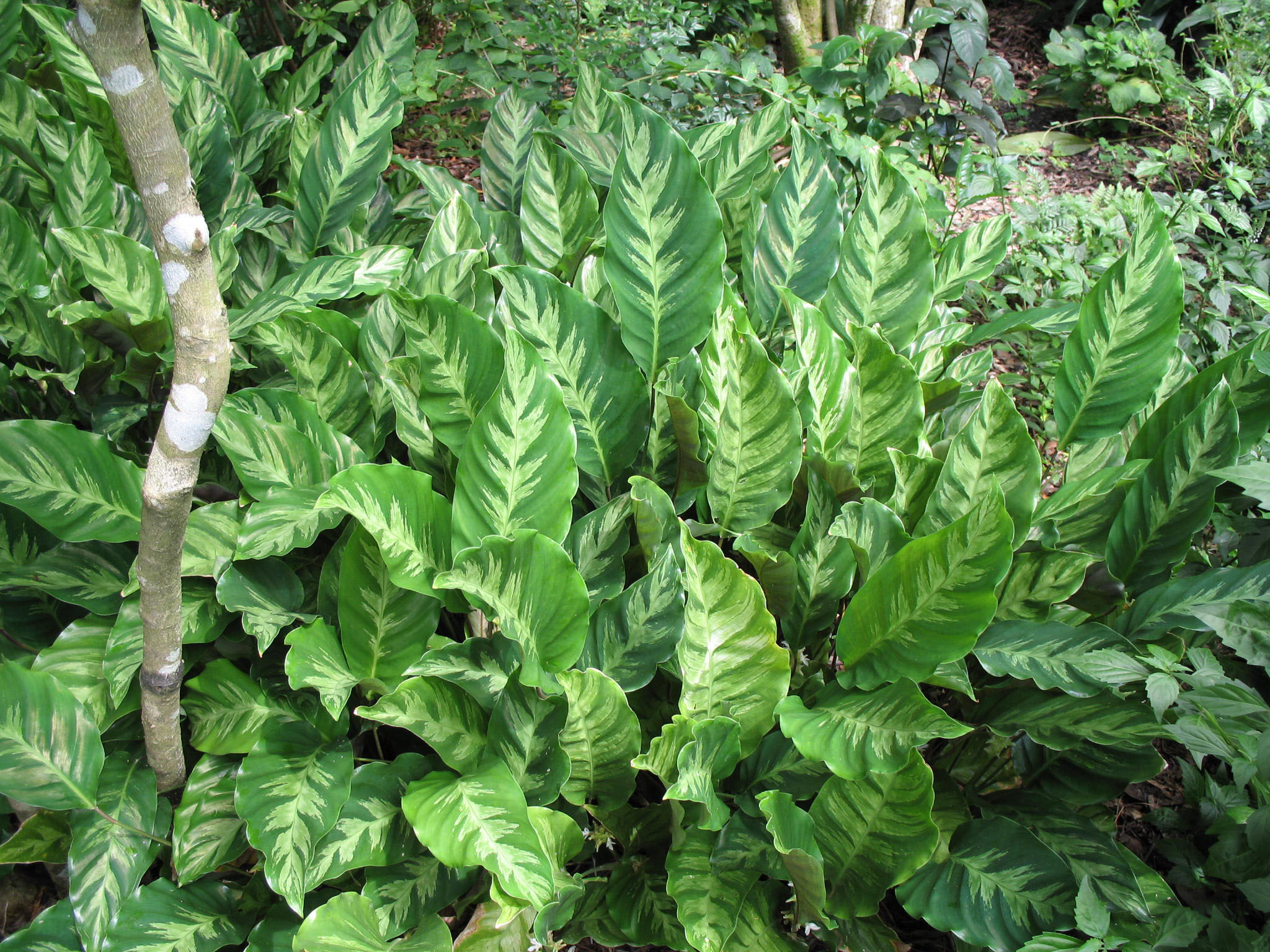 Calathea species / Calathea species