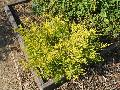 Gold Breath-of-Heaven / Coleonema pulchrum