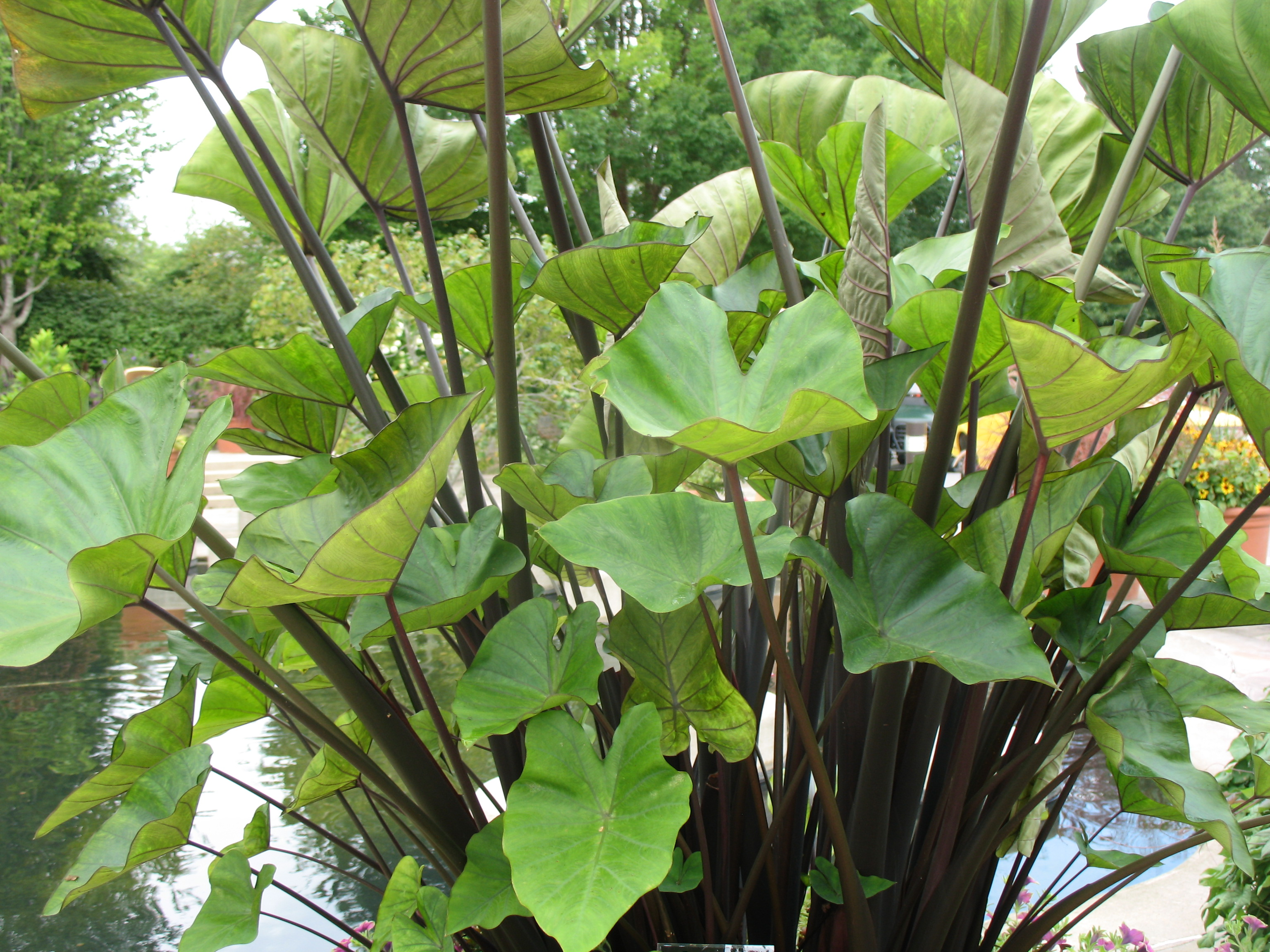 Colocasia esculenta 'Coffee Cups' / Colocasia esculenta 'Coffee Cups'
