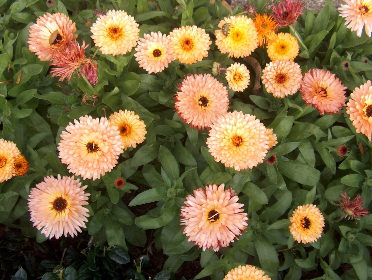 herbaceousplants2010 calendula officinalis. Black Bedroom Furniture Sets. Home Design Ideas