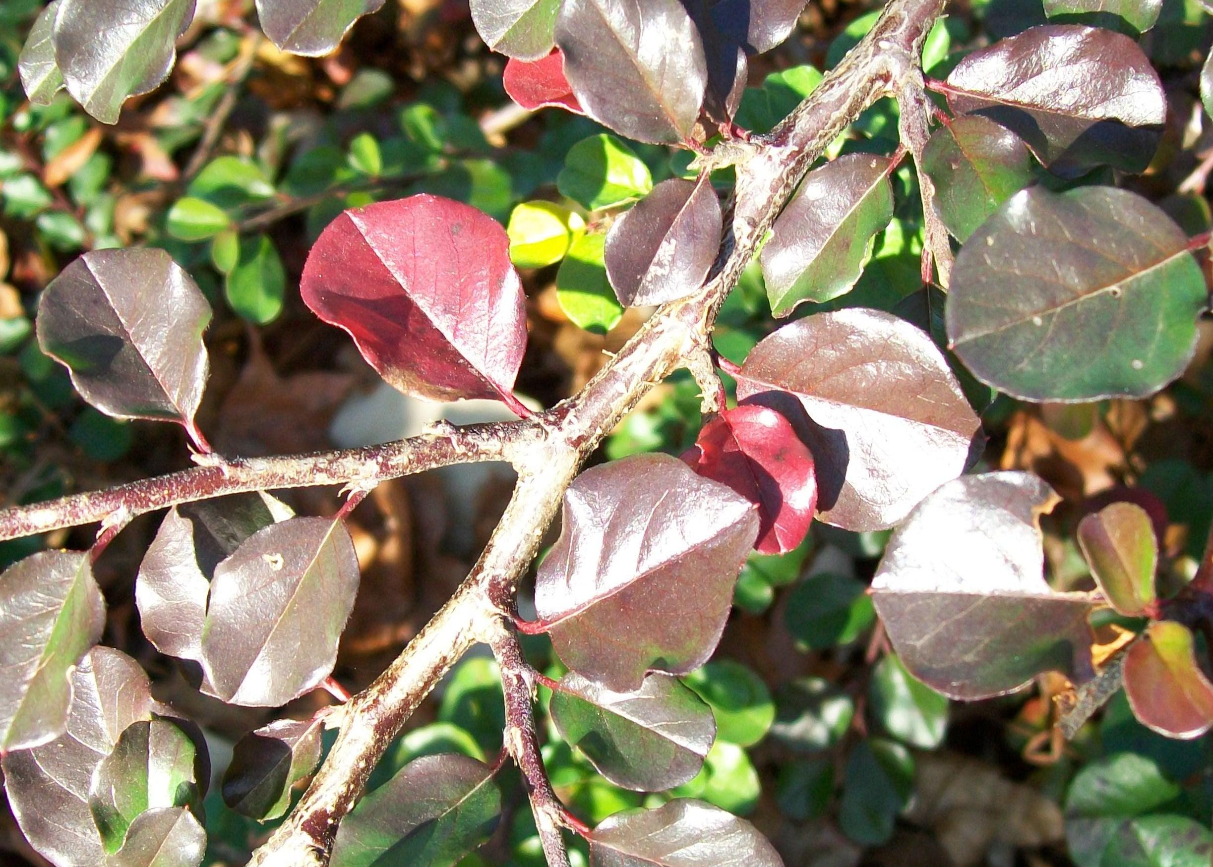 Cotoneaster apiculatus / Cotoneaster apiculatus
