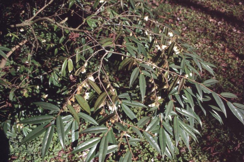 Camellia salicifolia / Camellia salicifolia