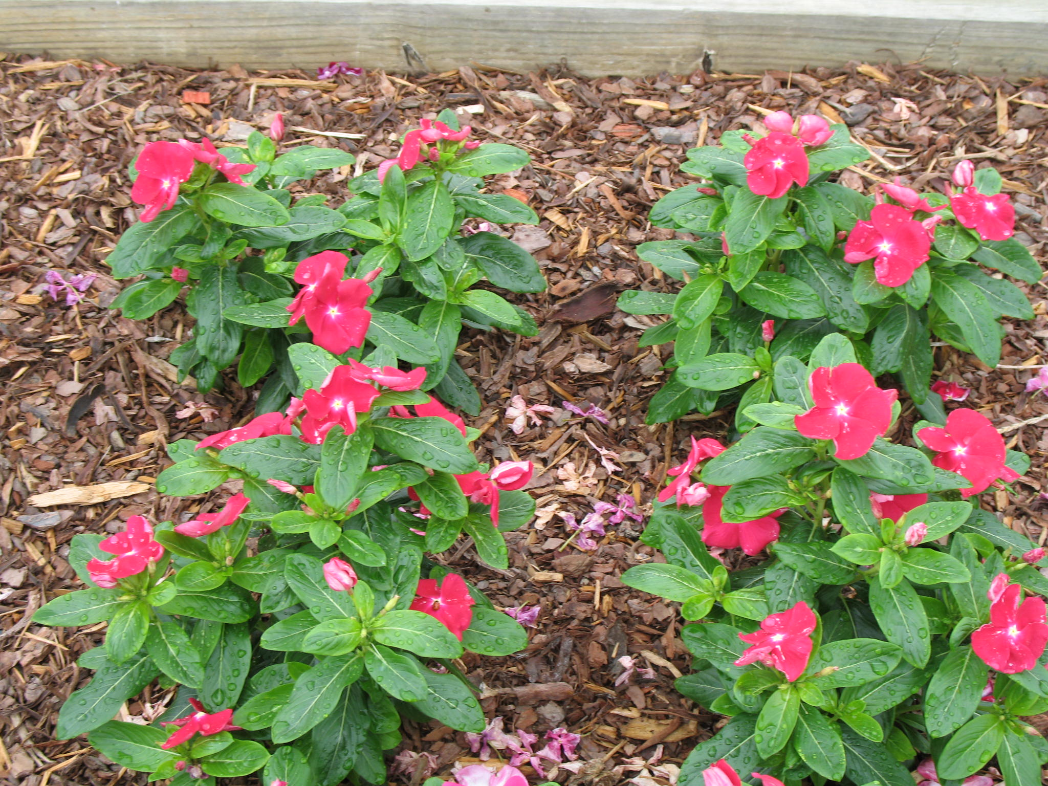 Catharanthus roseus 'Nirvana Red'  / Catharanthus roseus 'Nirvana Red'