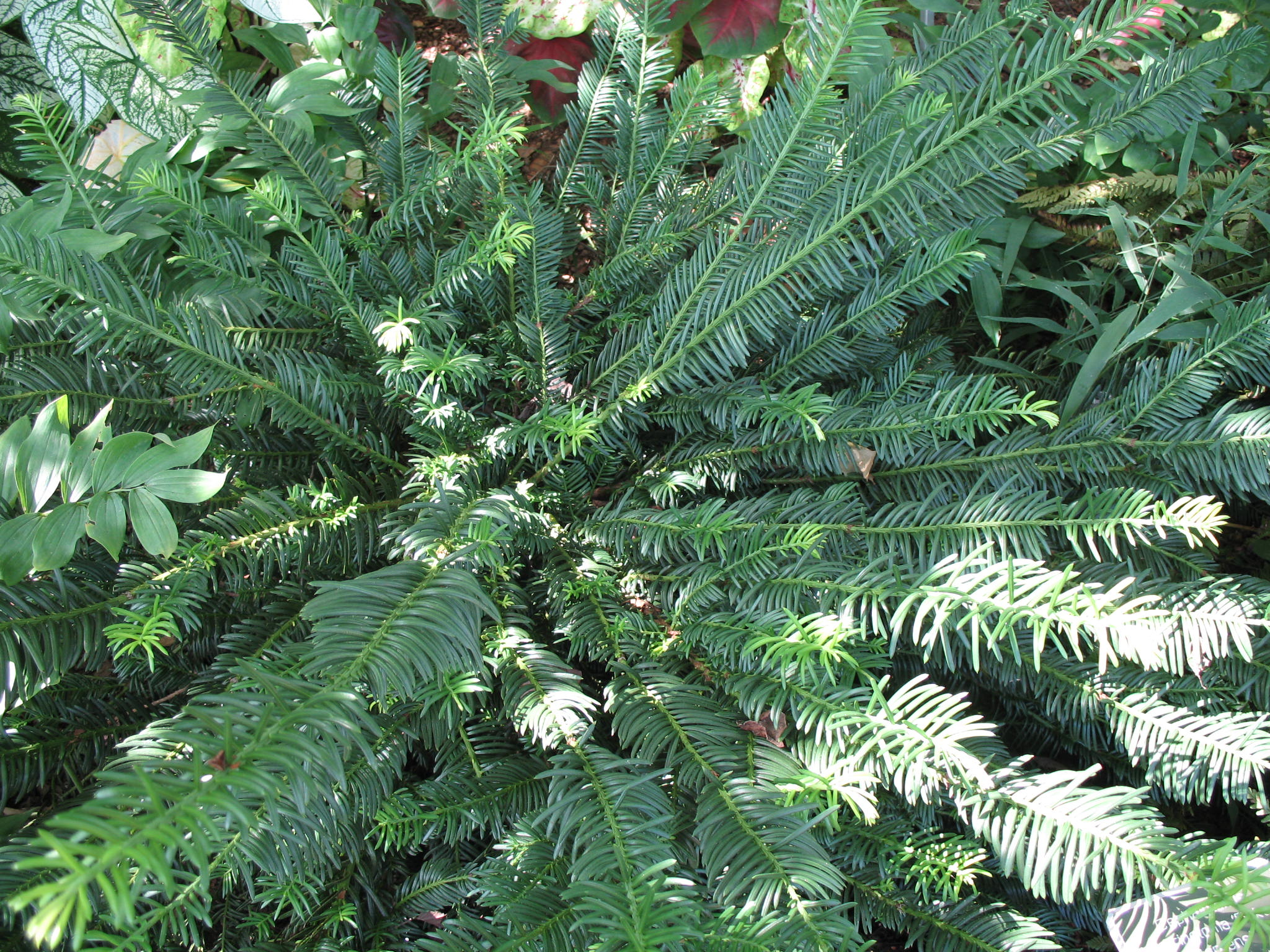 Online Plant Guide - Cephalotaxus harringtonia 'Duke ...