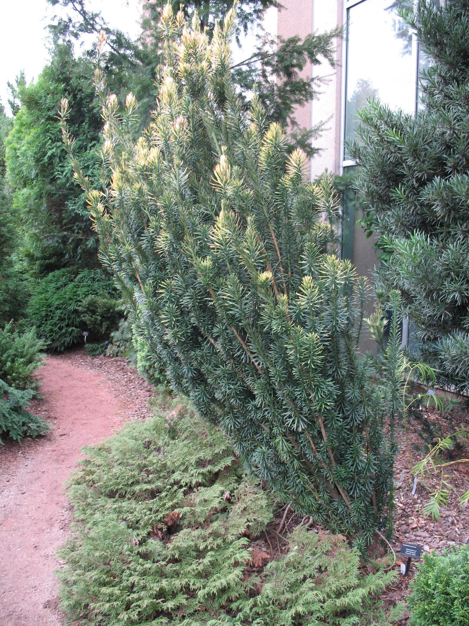 Cephalotaxus harringtonia 'Korean Gold'   / Cephalotaxus harringtonia 'Korean Gold'