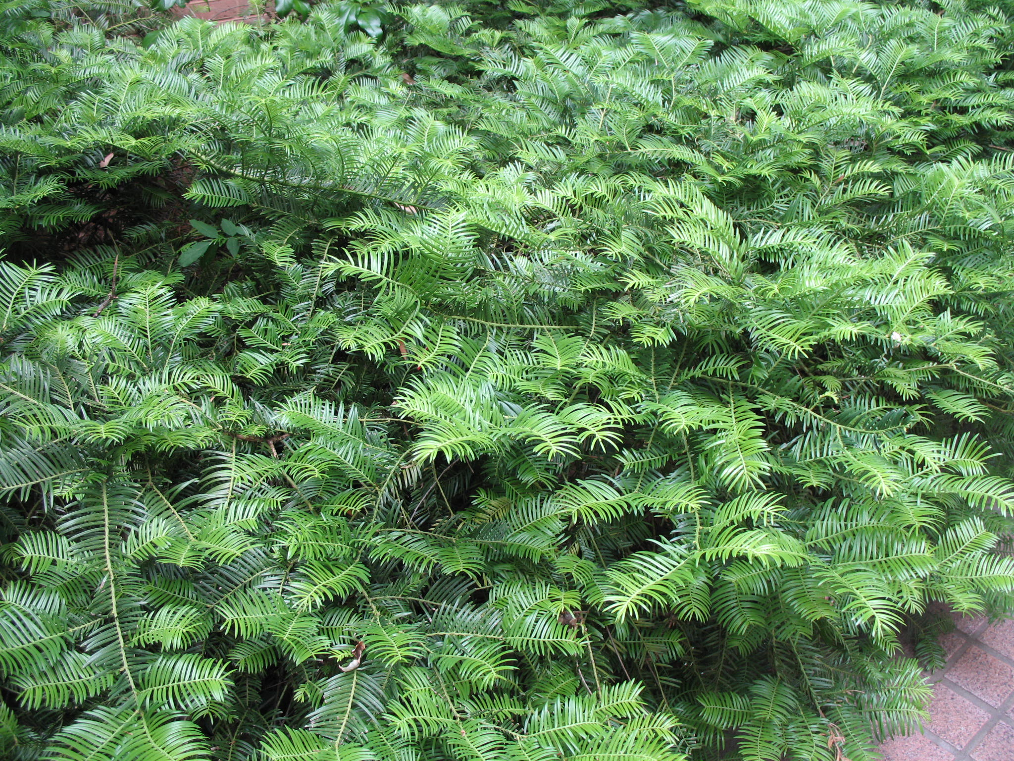 Cephalotaxus harringtonia var. drupacea     / Cephalotaxus harringtonia var. drupacea