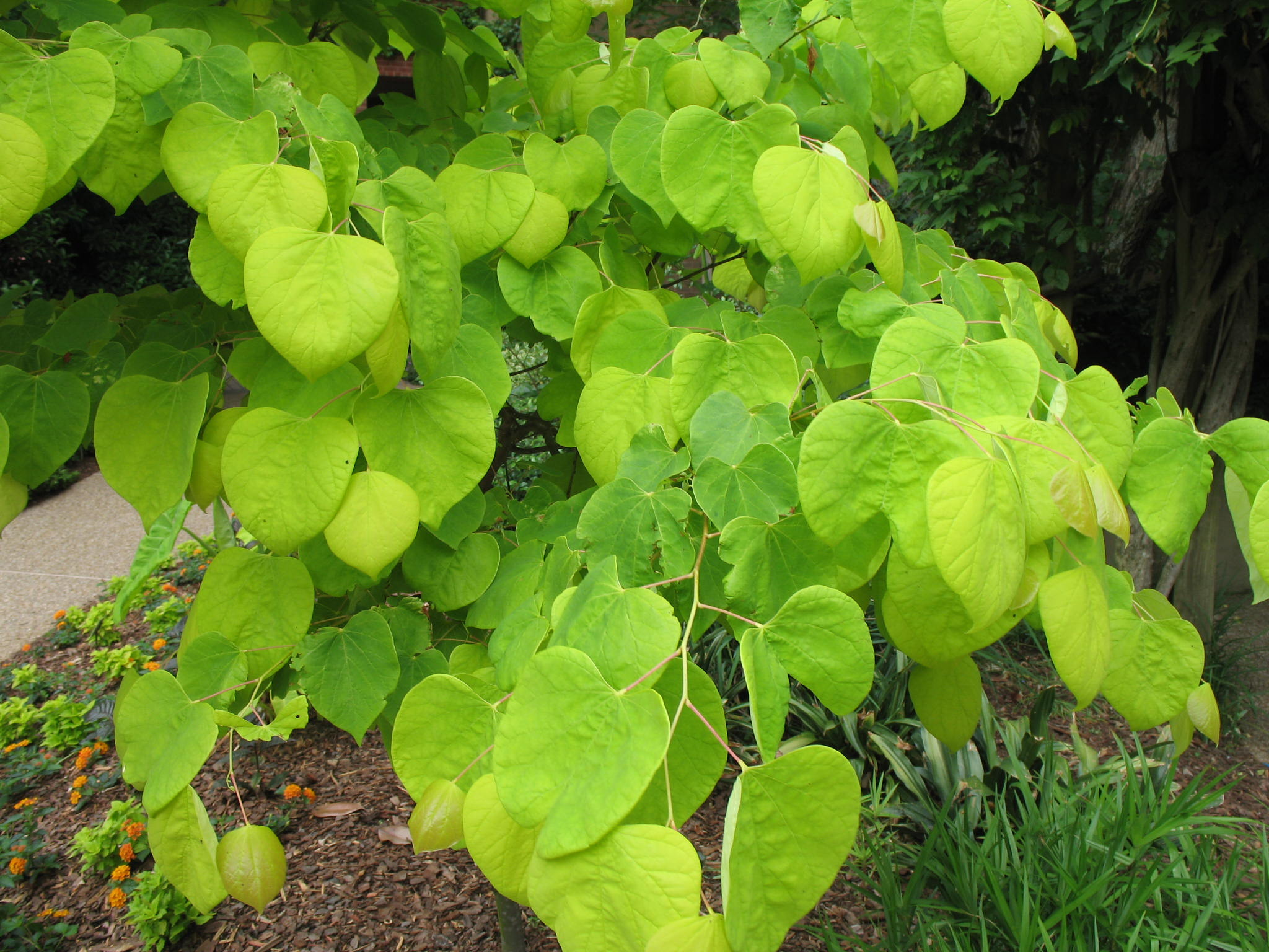 Cercis canadensis 'Heart of Gold'    / Cercis canadensis 'Heart of Gold'
