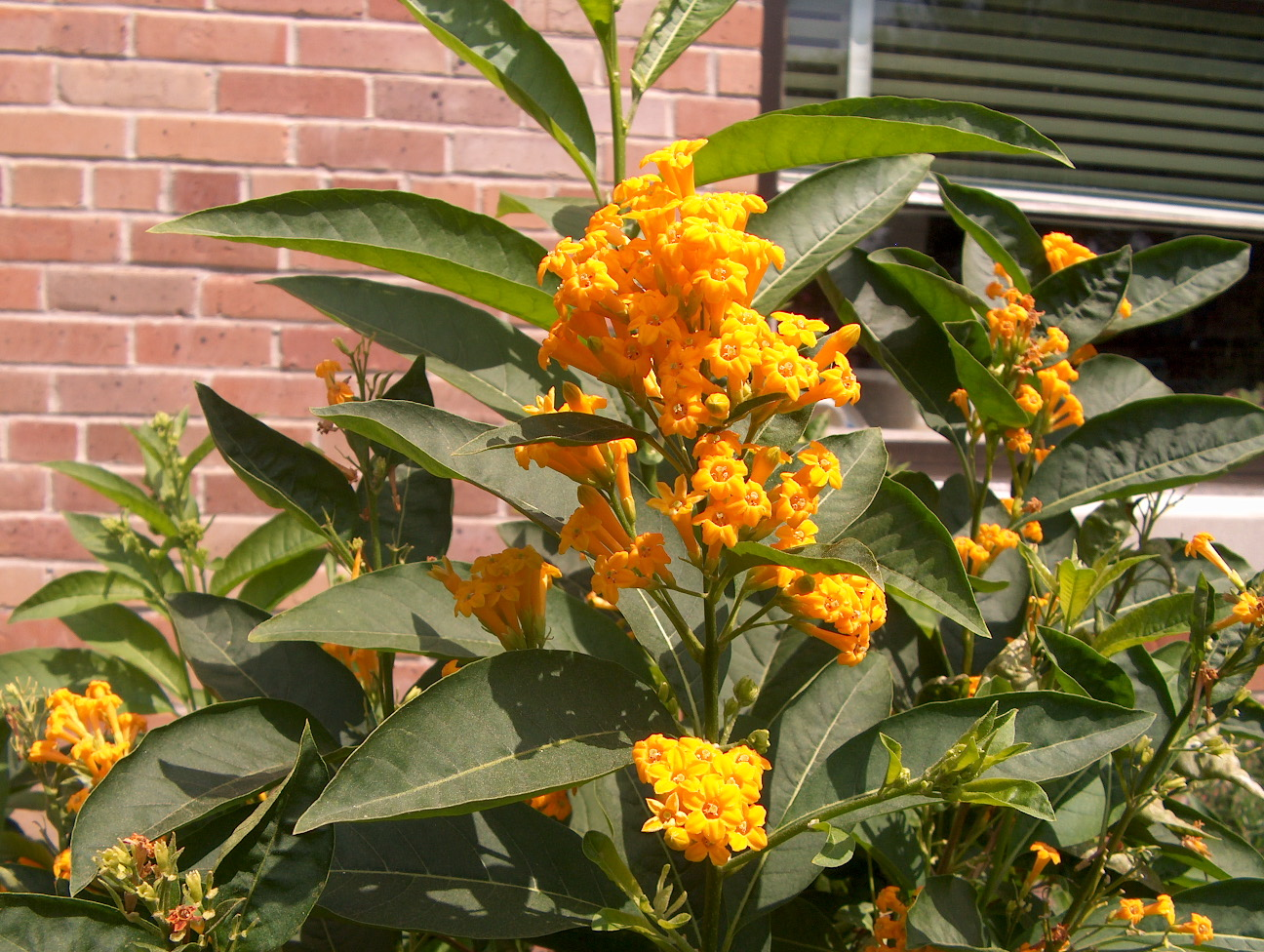 Cestrum 'Orange Peel' / Cestrum 'Orange Peel'