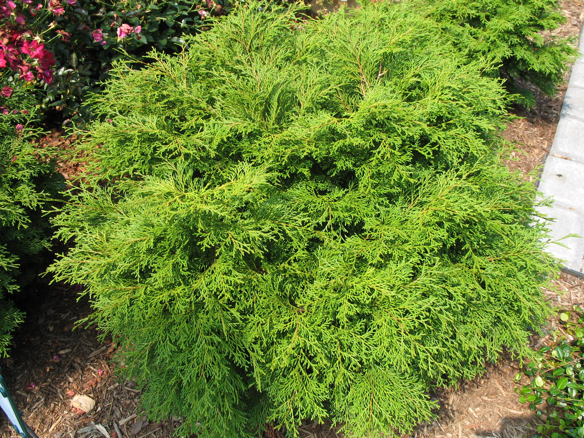 Chamaecyparis pisifera 'Squarrosa Minima'   / Chamaecyparis pisifera 'Squarrosa Minima'