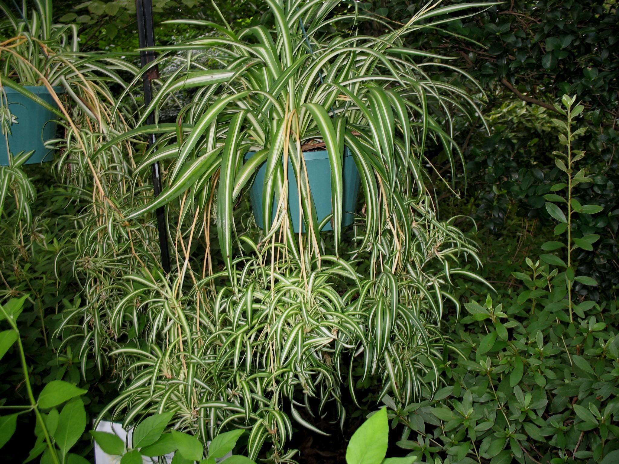 Chlorophytum comosum 'Vittatum' / Chlorophytum comosum 'Vittatum'