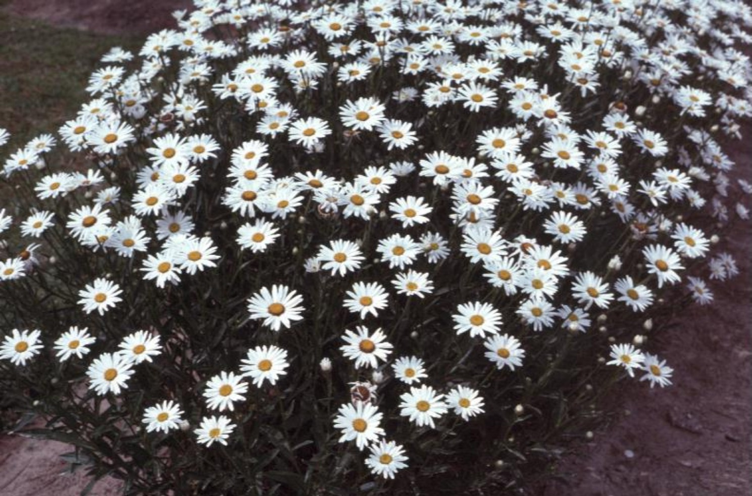 Chrysanthemum x superbum / Chrysanthemum x superbum