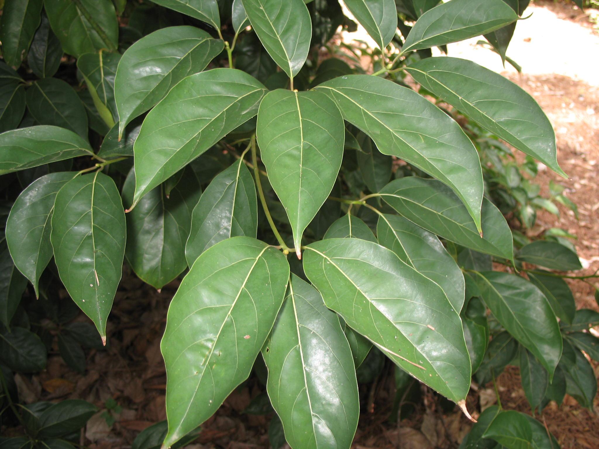 Cinnamomum  micranthum / Cinnamomum  micranthum