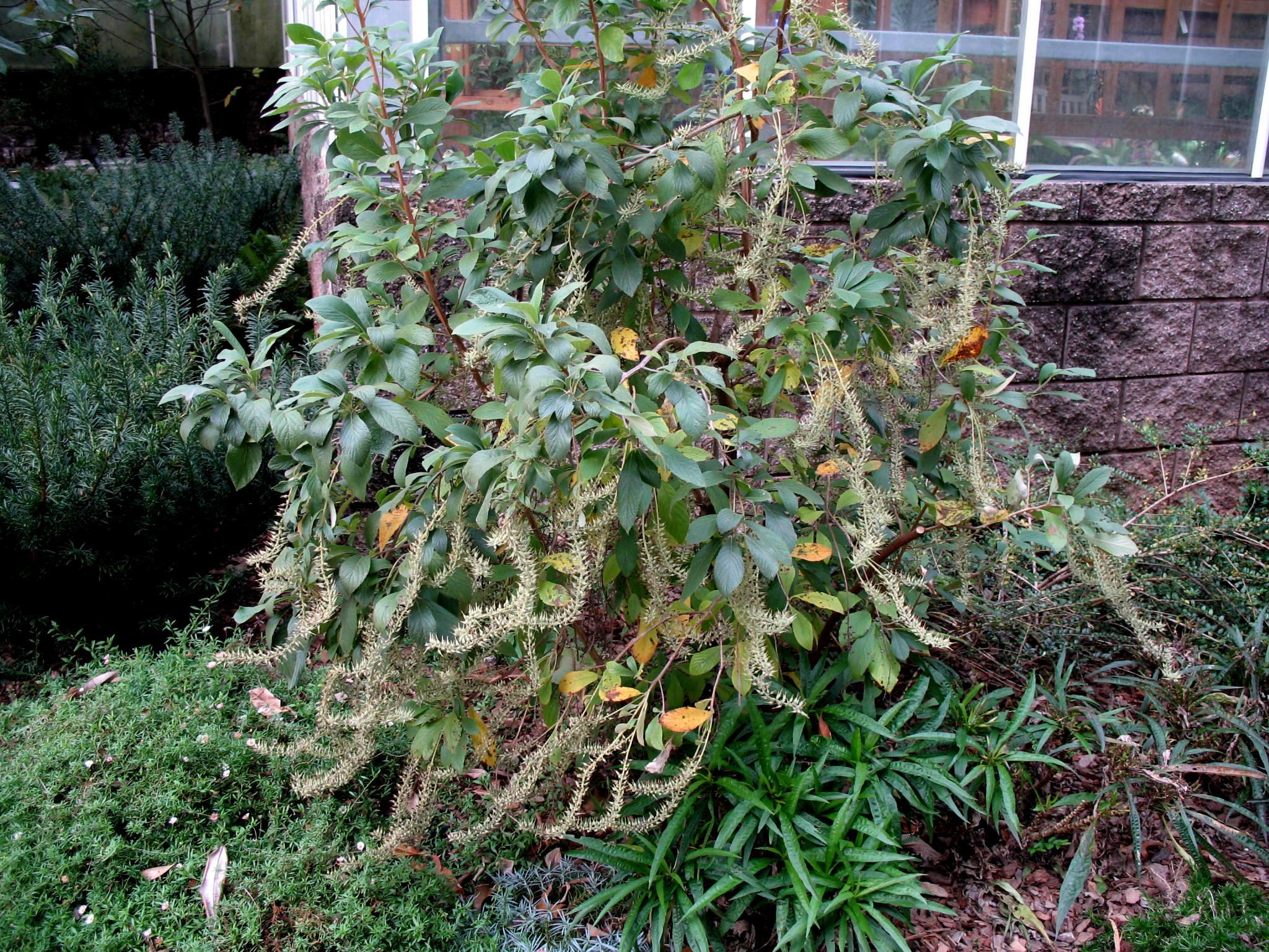 Clethra alinifolia  / Clethra alinifolia