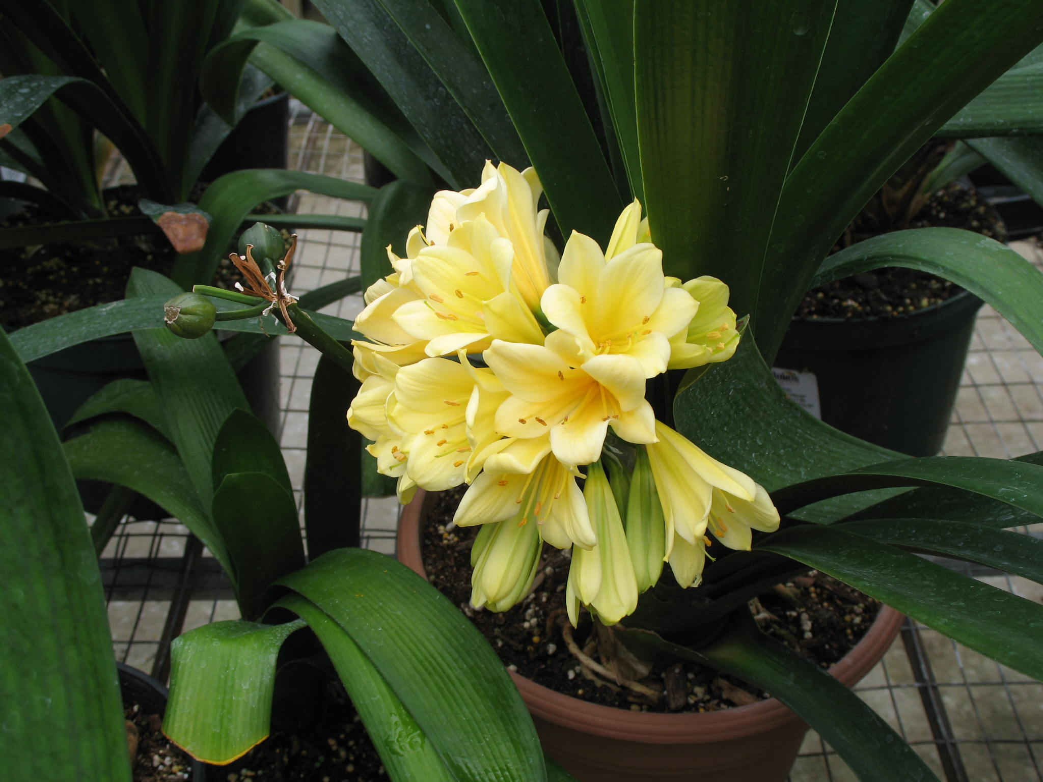 Clivia miniata 'Solomon Yellow'   / Clivia miniata 'Solomon Yellow'