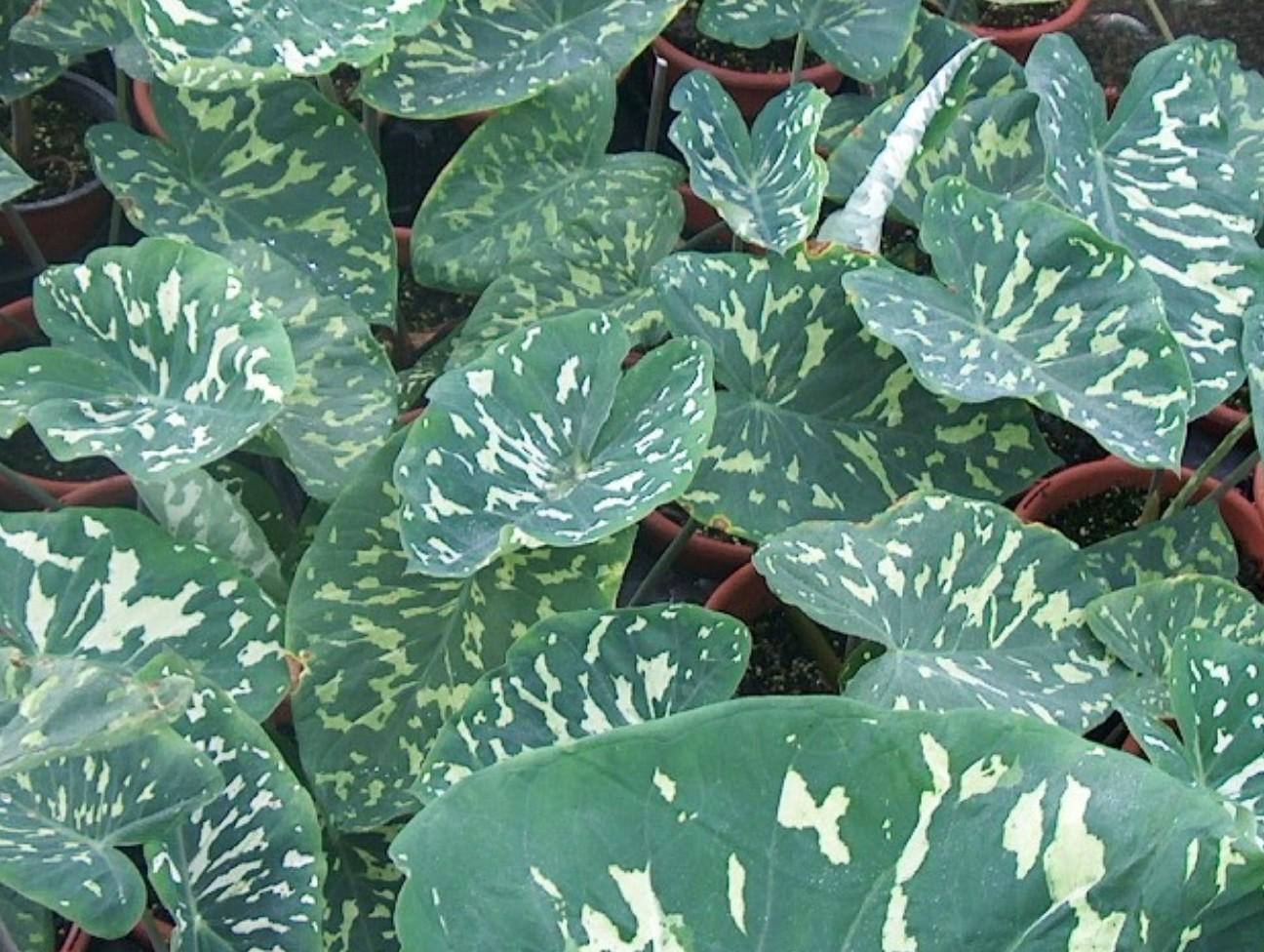 Colocasia amazonica  / Colocasia amazonica