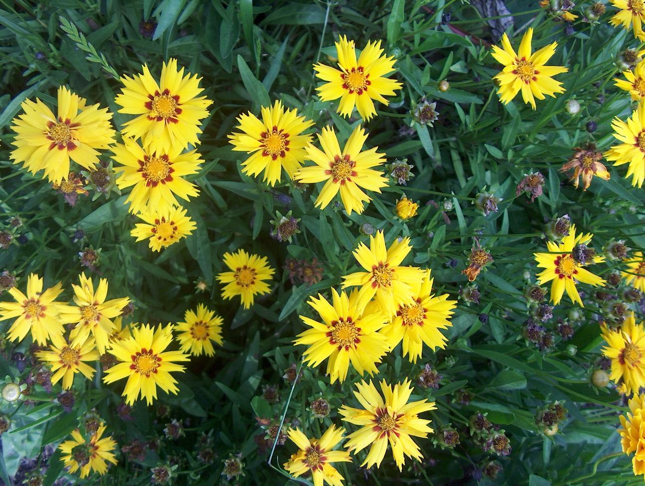 Coreopsis grandiflora 'Rising Sun'   / Coreopsis grandiflora 'Rising Sun'