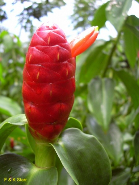 Costus woodsonii / Costus woodsonii