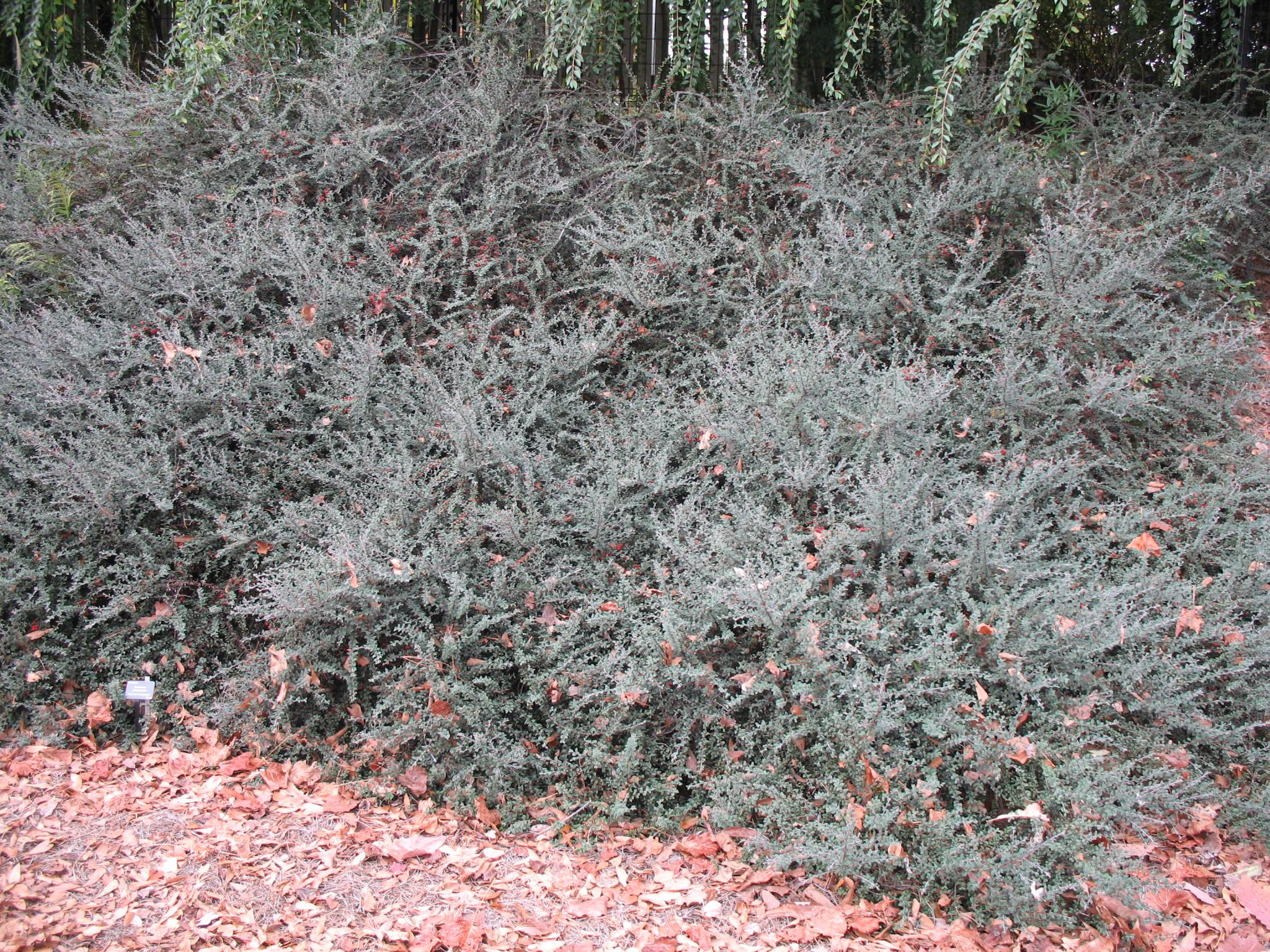 Cotoneaster glaucophyllus / Cotoneaster glaucophyllus