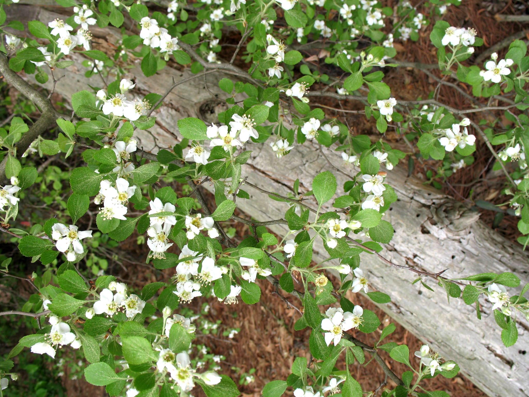 Crataegus viridis  / Crataegus viridis