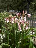 Milk and Wine Lily / Crinum x herbertii