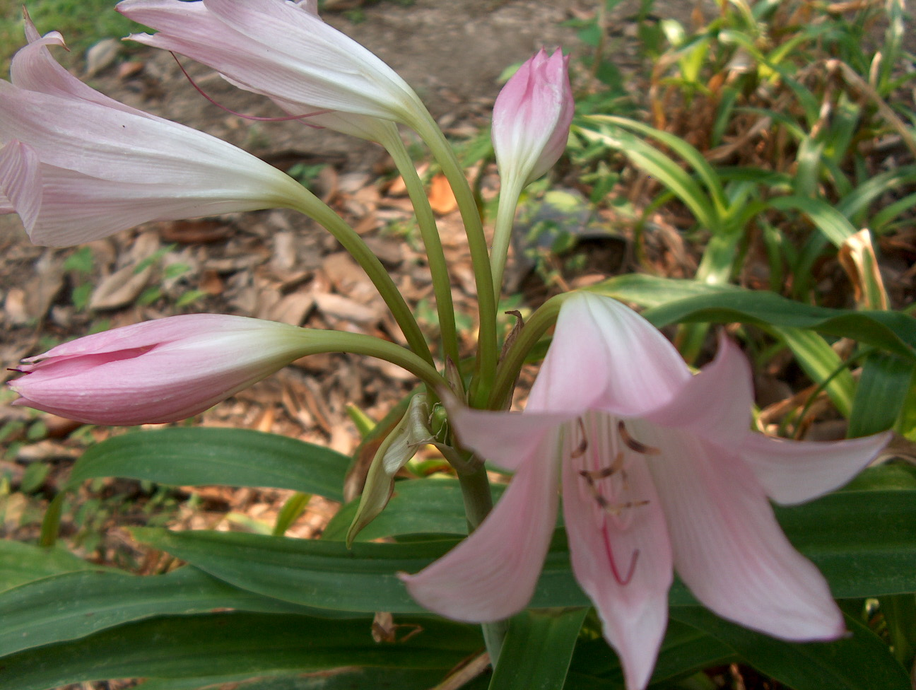 Crinum species / Crinum species