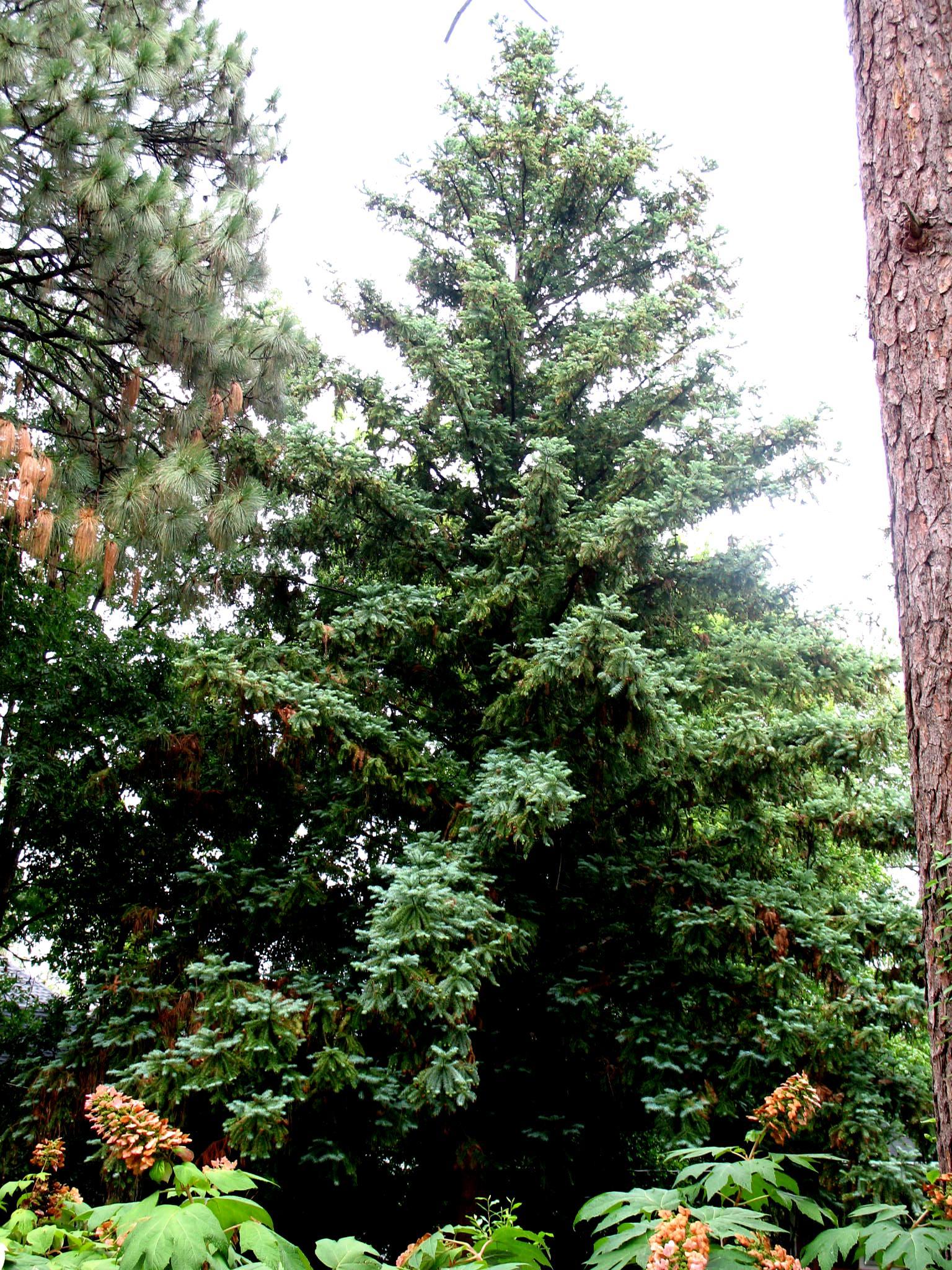 Cunninghamia lanceolata / Cunninghamia lanceolata