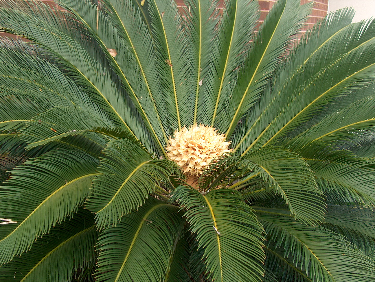 Cycas revoluta flower images for Plantes online