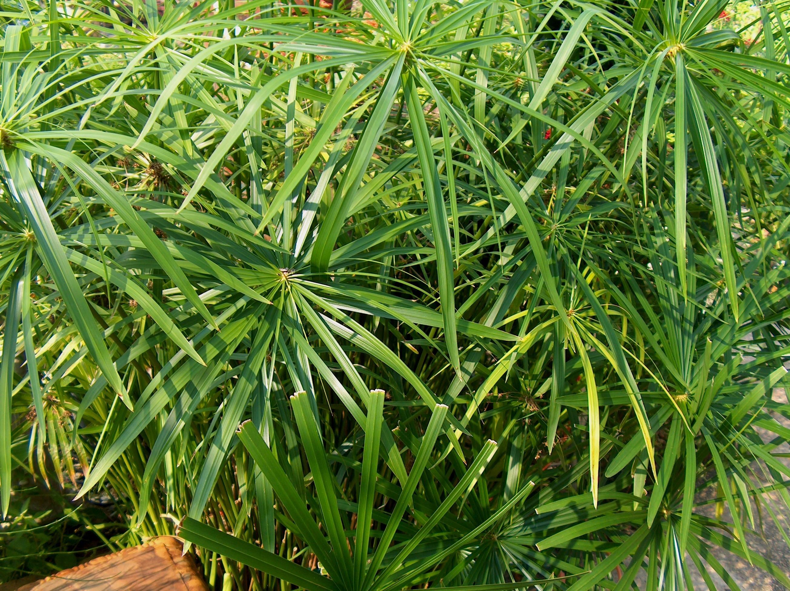 Online plant guide cyperus alternifolius umbrella plant for Plantes online