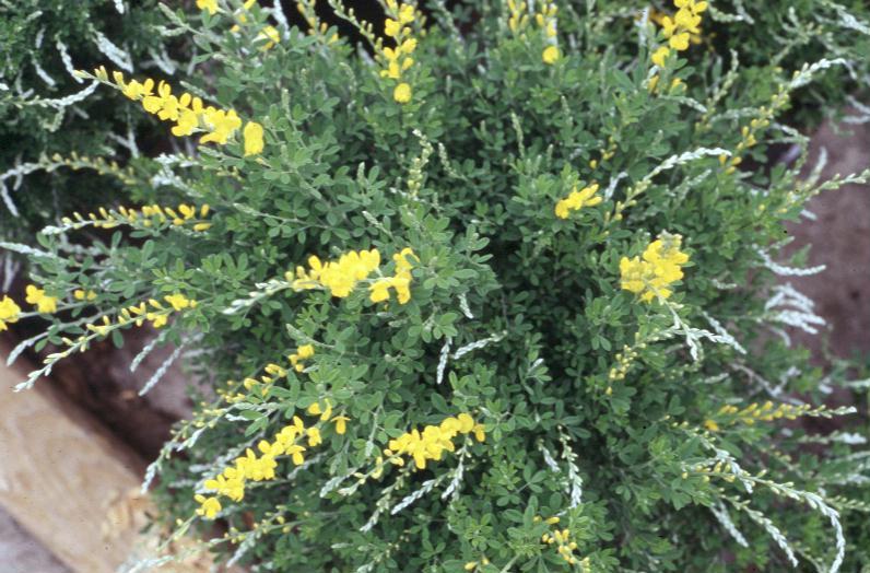 Cytisus scoparius  / Cytisus scoparius