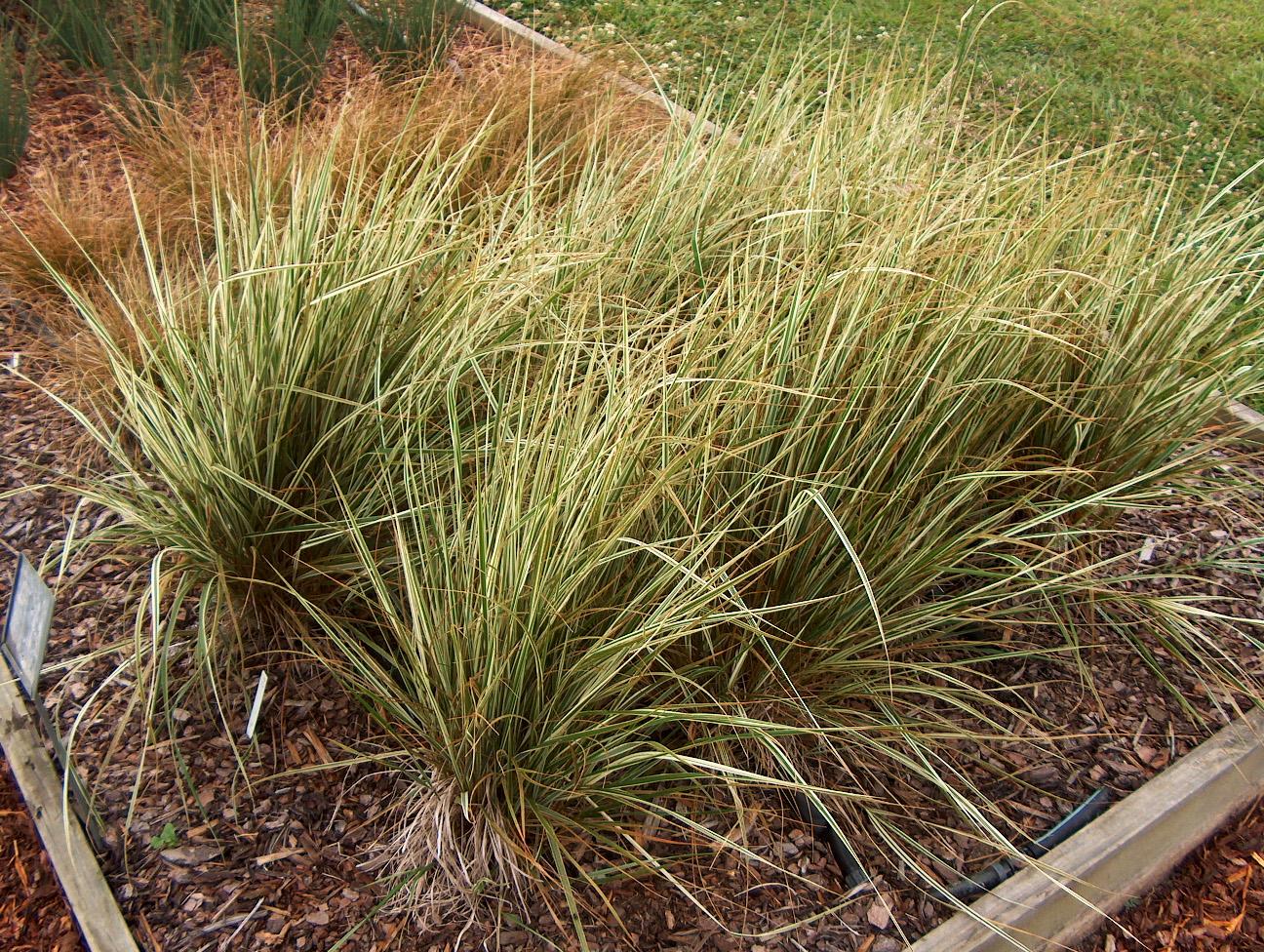 Calamagrostis acutiflora 'Overdam'    / Calamagrostis acutiflora 'Overdam'