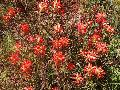 Texas Paintbrush / Castilleja indivisa