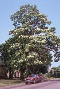Northern Catalpa / Catalpa speciosa