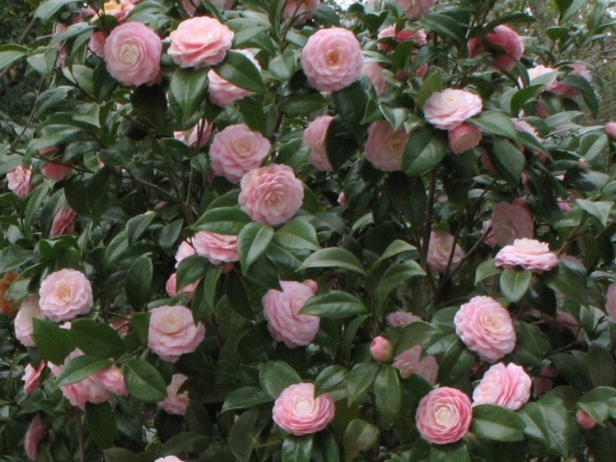 Camellia japonica 'Pink Perfection'  / Camellia japonica 'Pink Perfection'