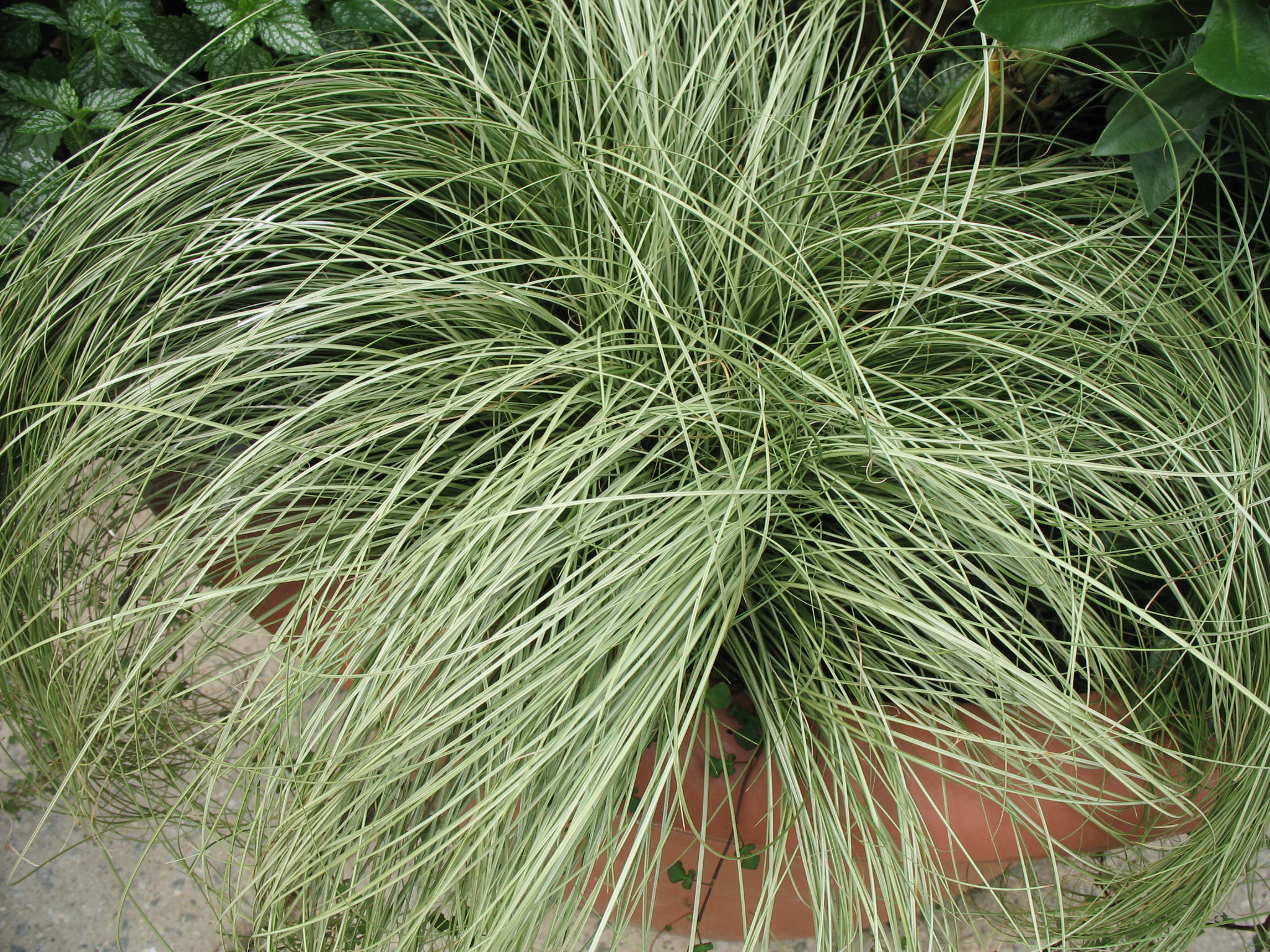 Carex albula 'Frosty Curls'  / Carex albula 'Frosty Curls'