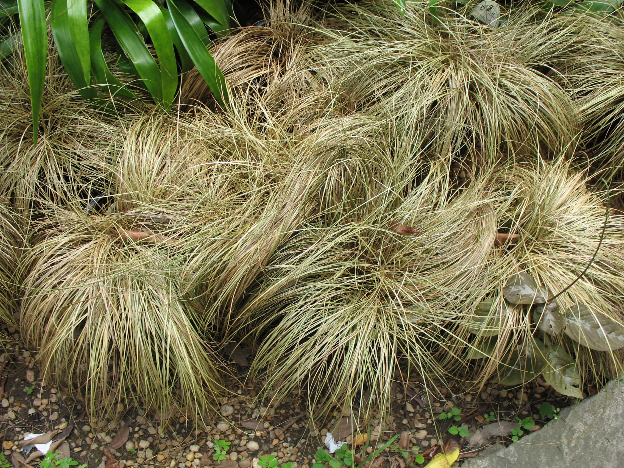 Carex flagellifera 'Toffee Twist'   / Carex flagellifera 'Toffee Twist'