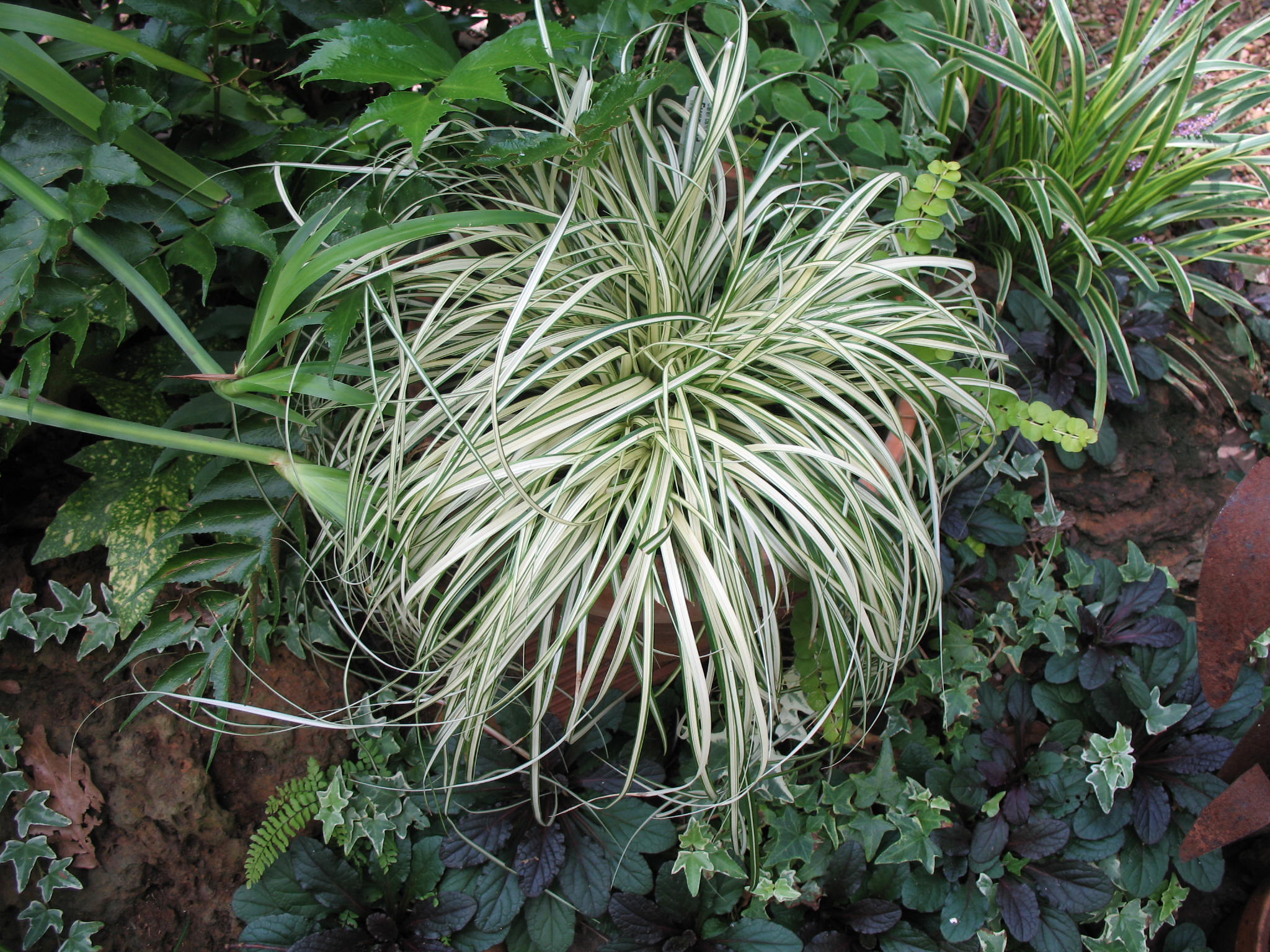 Carex morrowii 'Everbright'   / Carex morrowii 'Everbright'