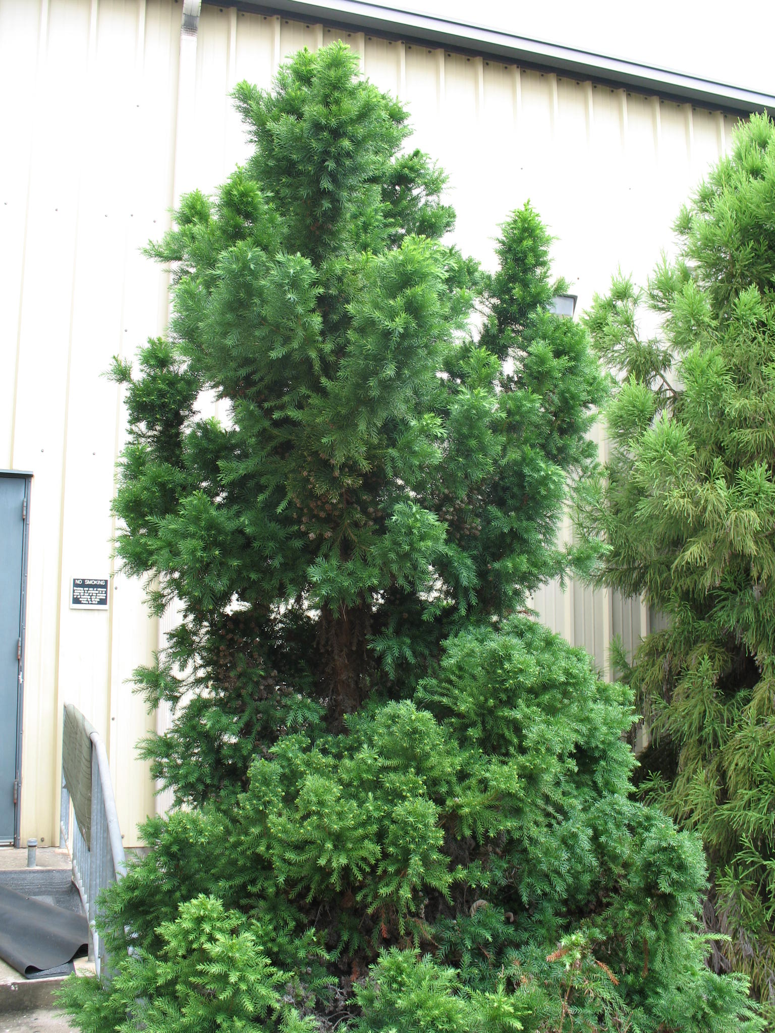 Cryptomeria japonica 'Green Pencil'   / Cryptomeria japonica 'Green Pencil'