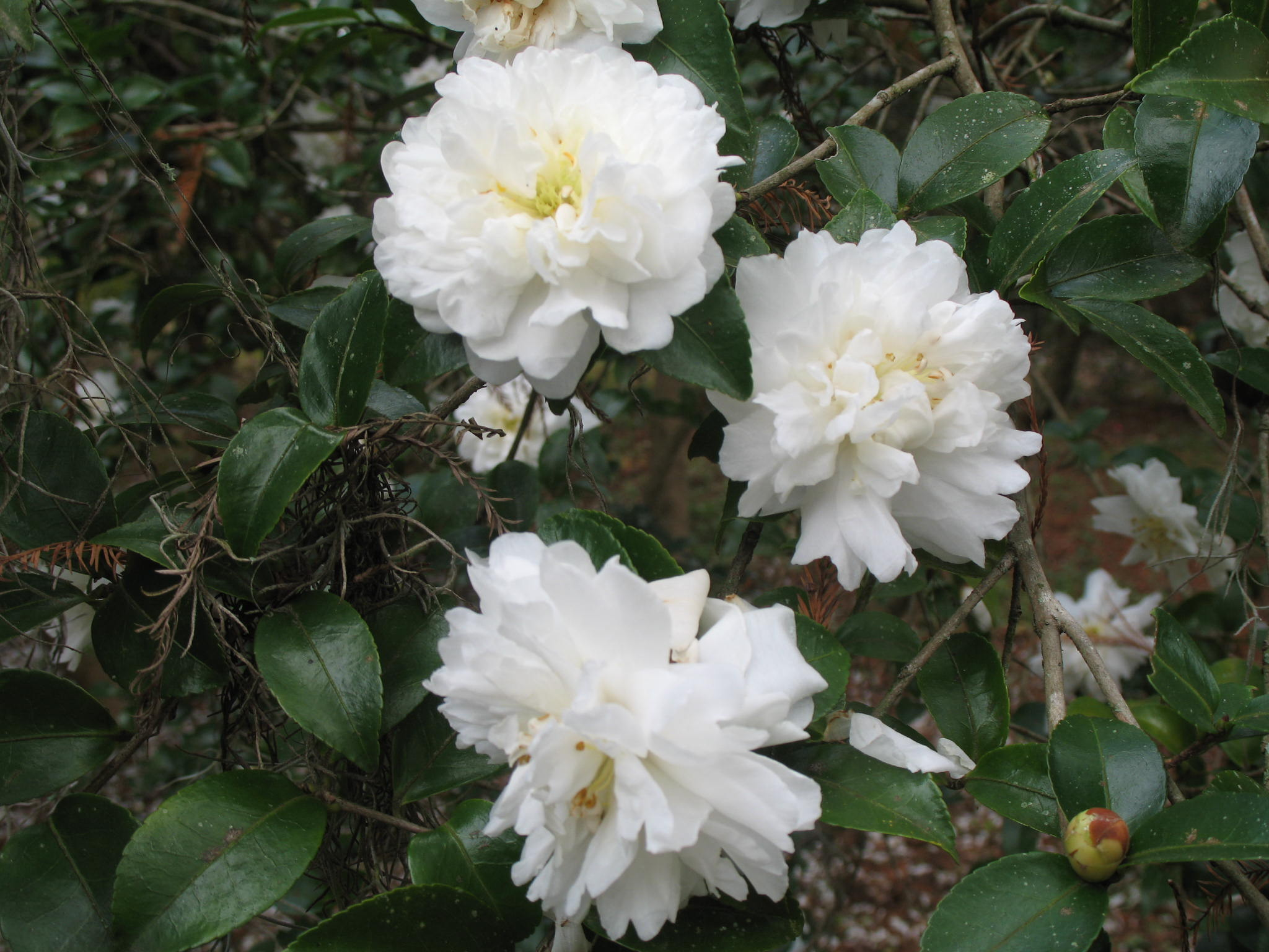 Camellia sasanqua 'Snow on the Mountain'   / Camellia sasanqua 'Snow on the Mountain'
